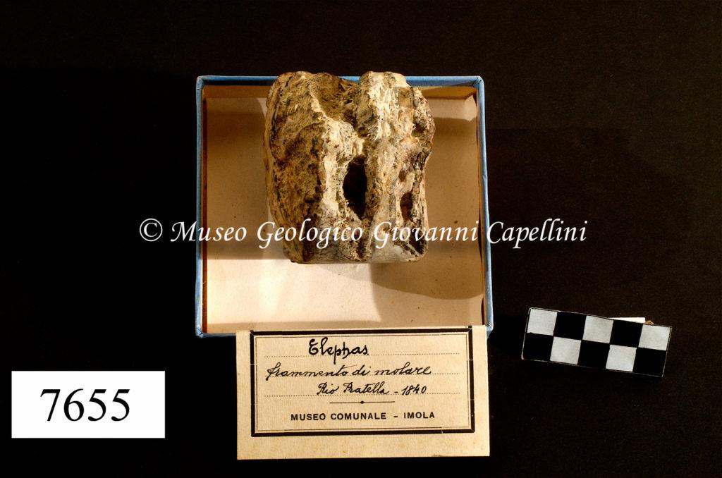 Molare – Mammuthus aff. meridionalis, Nesti; fam. Elephantidae